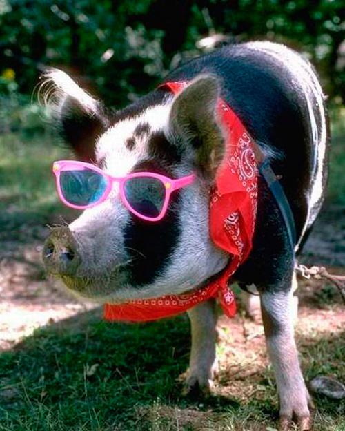 blind pigs
