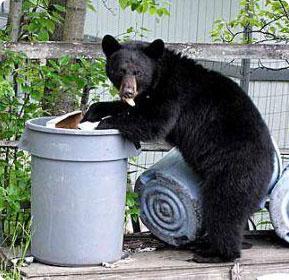 bear_in_trash